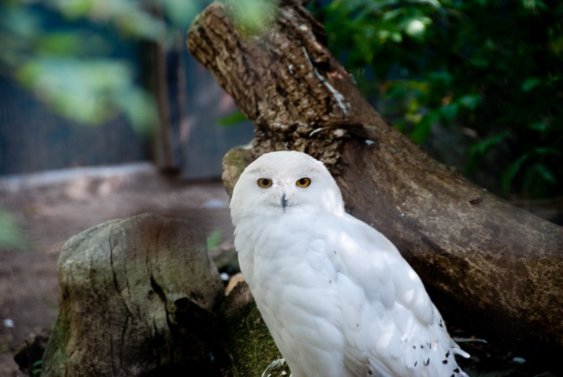 Snowy Owl, Assiniboine Park Zoo