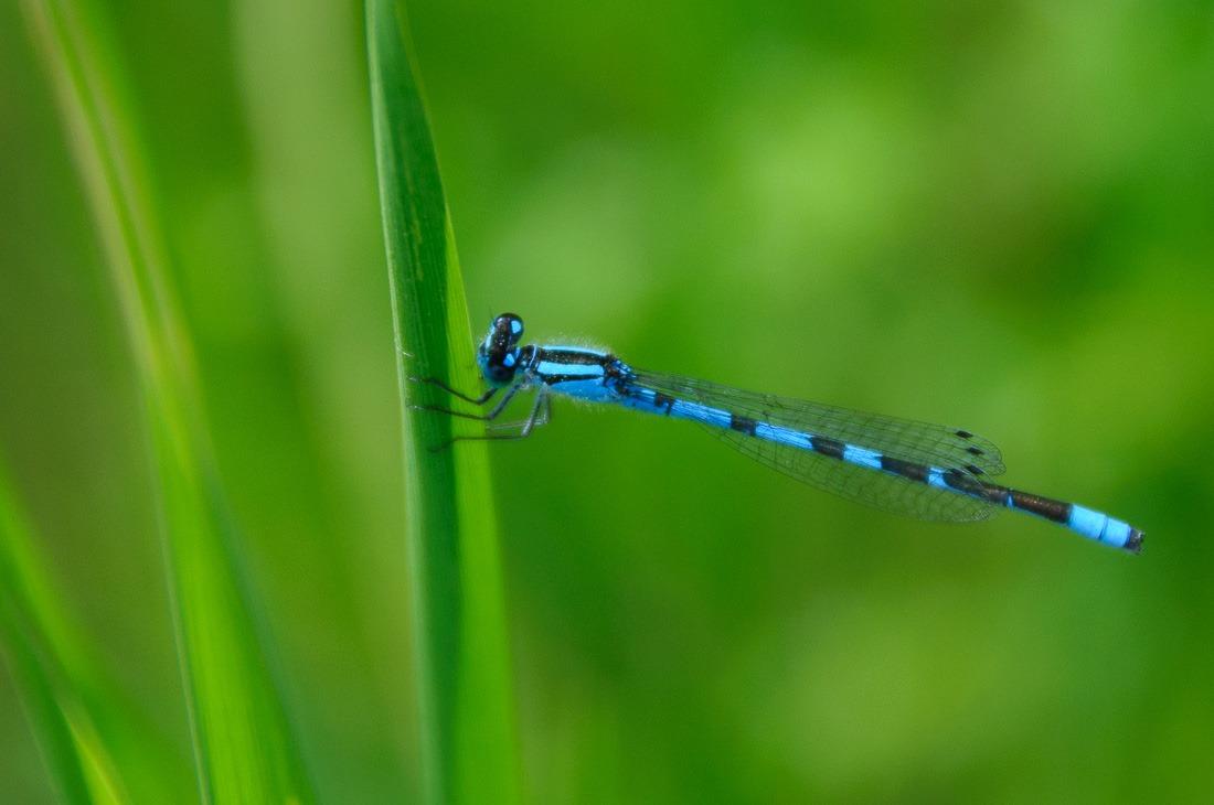 Male Bleuet