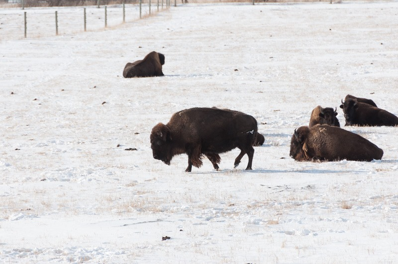 Bison at Fort Whyte