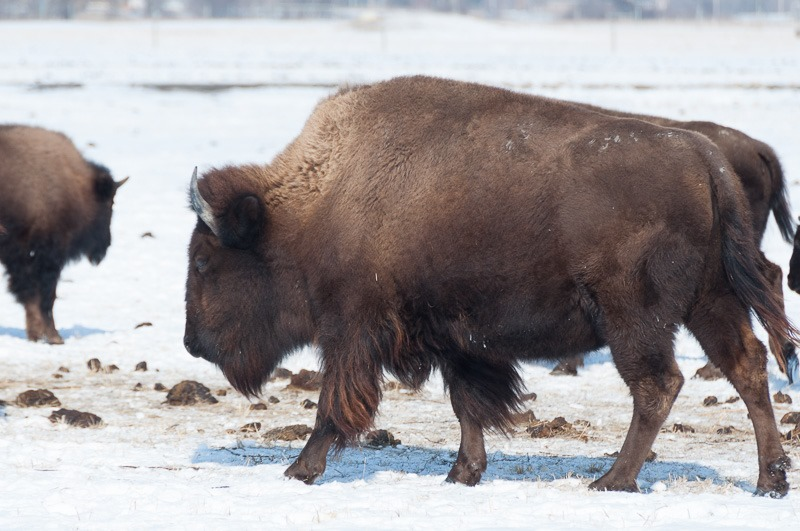 Bison, not buffalo, eh?