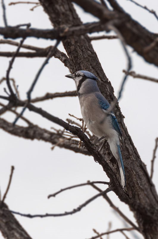 Blue Jay, in the role of the Bully