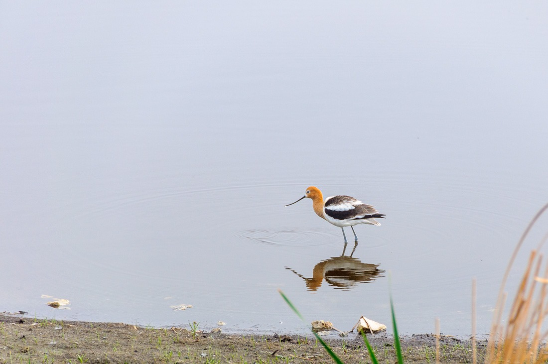 American Avocet in Oak Hammock Marsh, MB