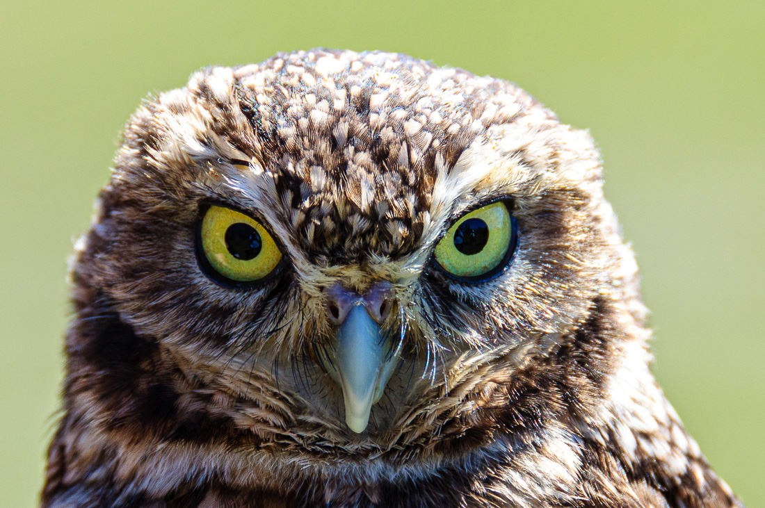 Burrowing Owl scrutiny