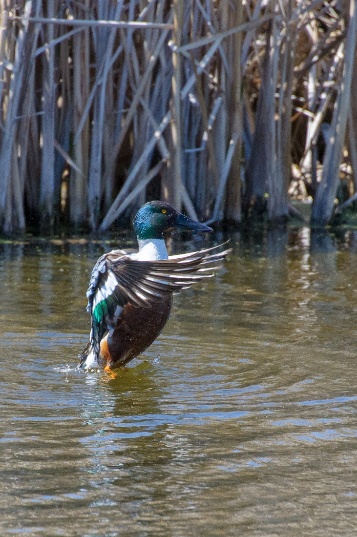 Northern Shoveler stretching the wings