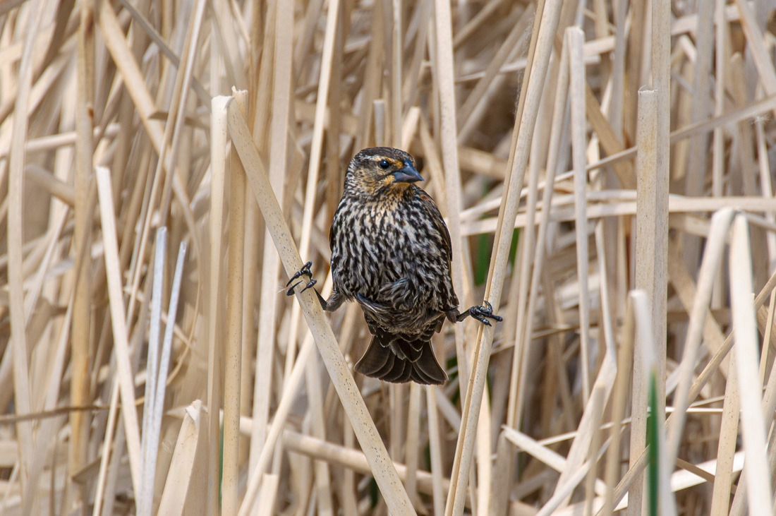 Un-lady like pose of a Red Winged Blackbird female