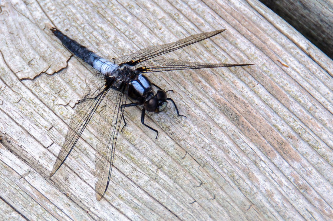 Chalk Fronted Corporal