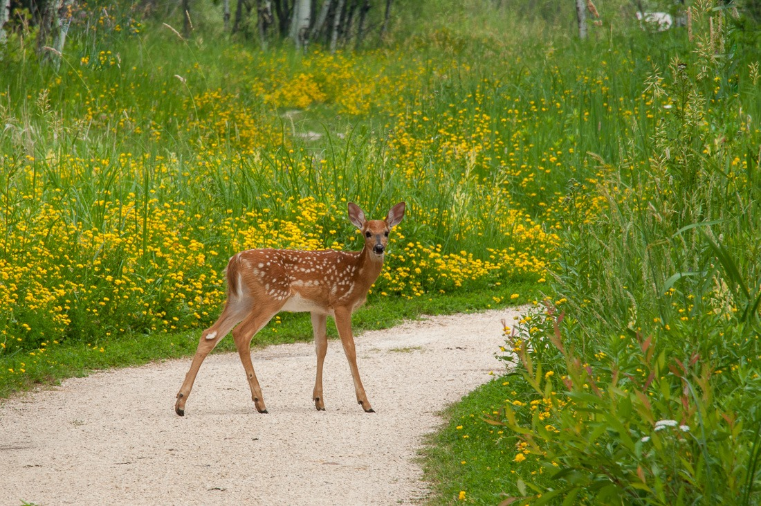 White Tailed Deer fawn
