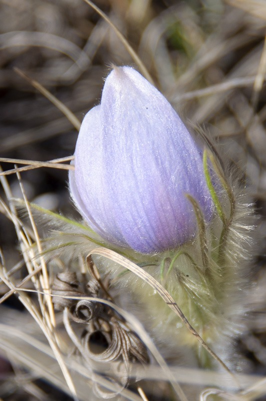 Prairie Crocus in the drylands