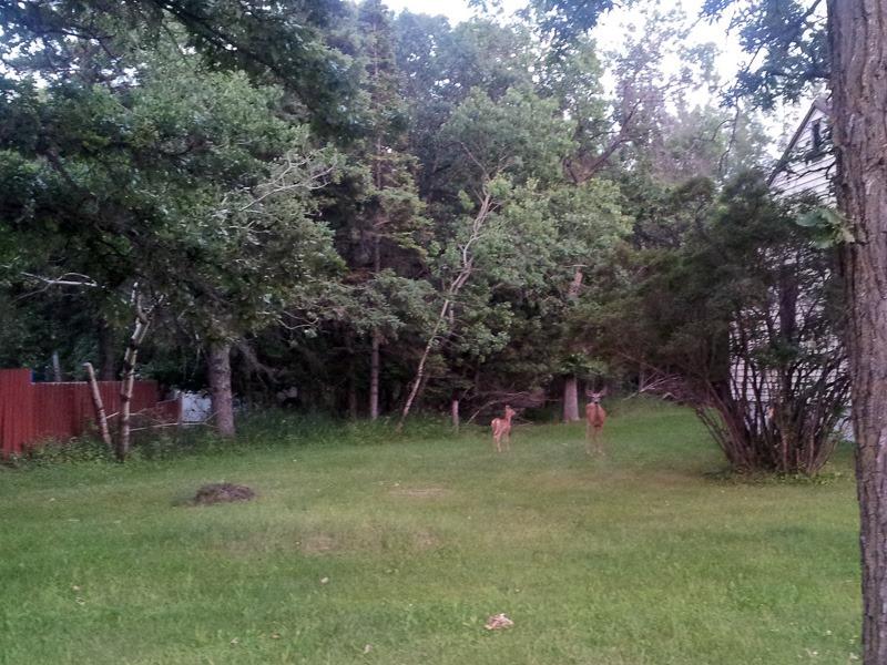Evasive deer