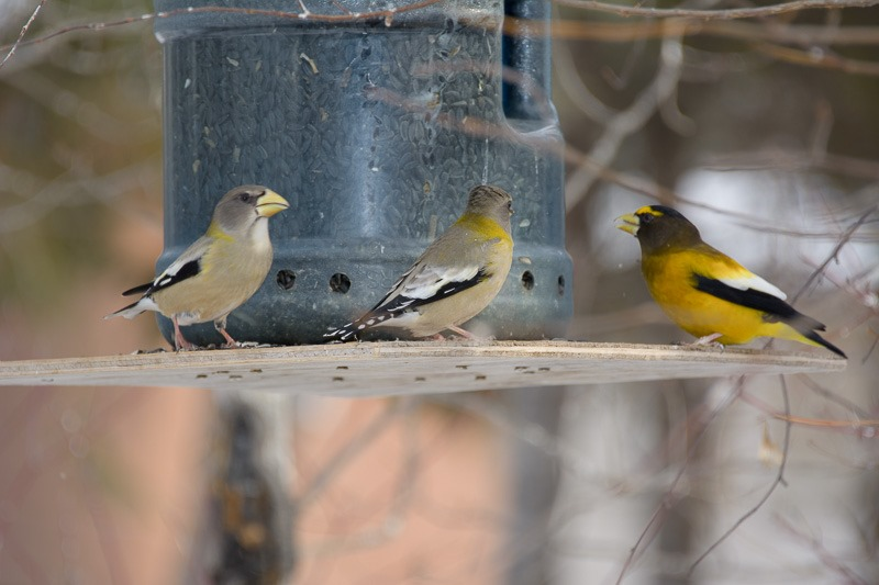 Male Evening Grosbeak (right) getting a hard time by the females