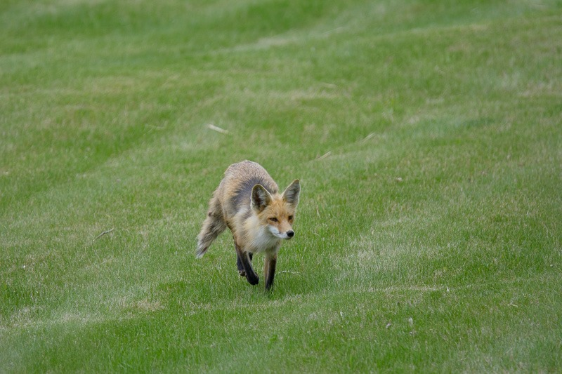 Female Red Fox