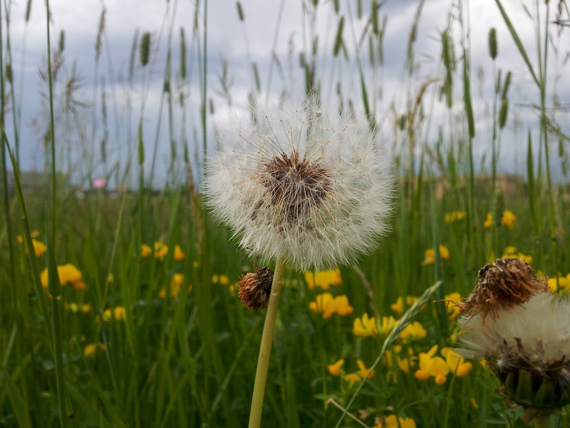 Dandy Lion in a field