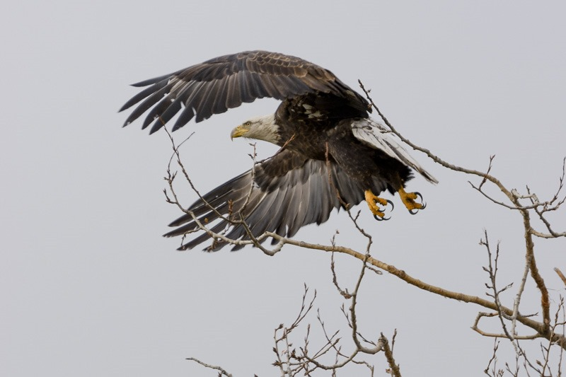 Adult Bald Eagle taking off