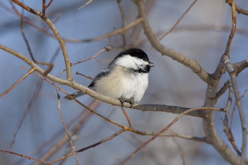 Black-Capped Chickadee, the friendliest of them all