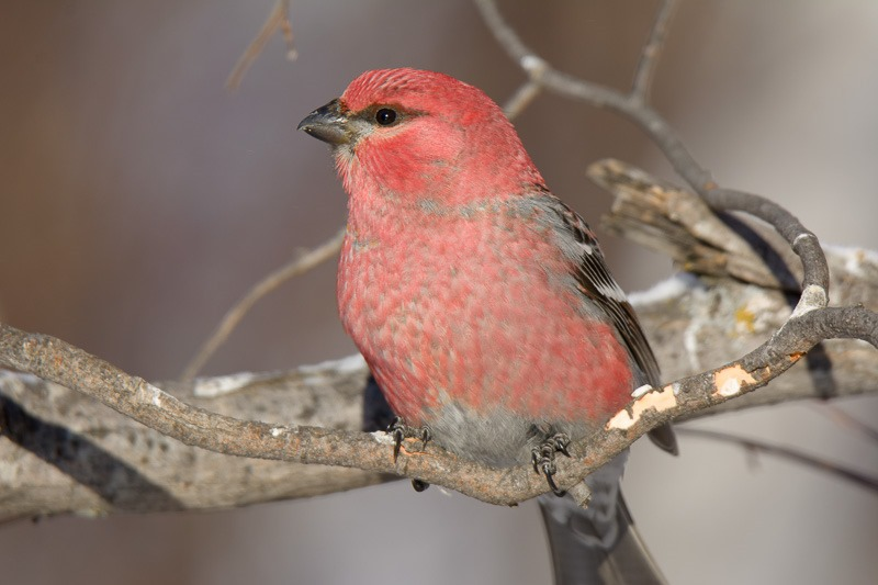 Pine Grosbeak in Birds Hill Park