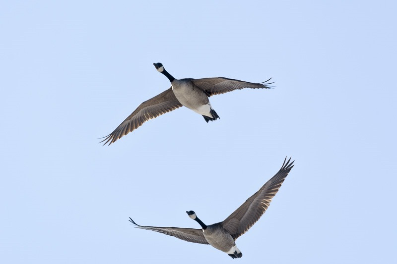 The first Canada Geese of the year, heralding spring