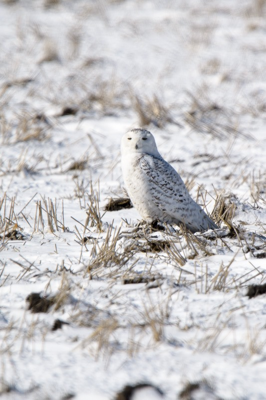 Snowy Owl, hardly visible on the ground...