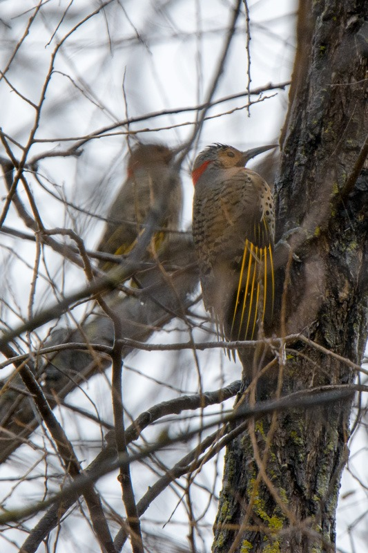 Female Yellow-shafted Northern Flickers