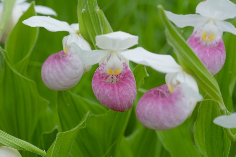 Orchids, Showy Lady Slippers