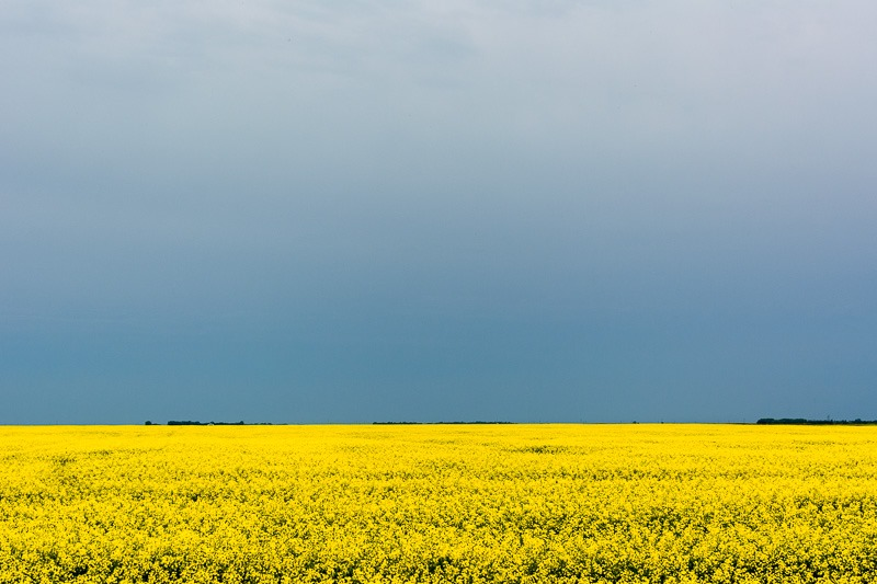 Looming sky over Canola