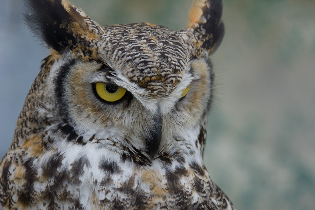 Disapproving Great Horned Owl