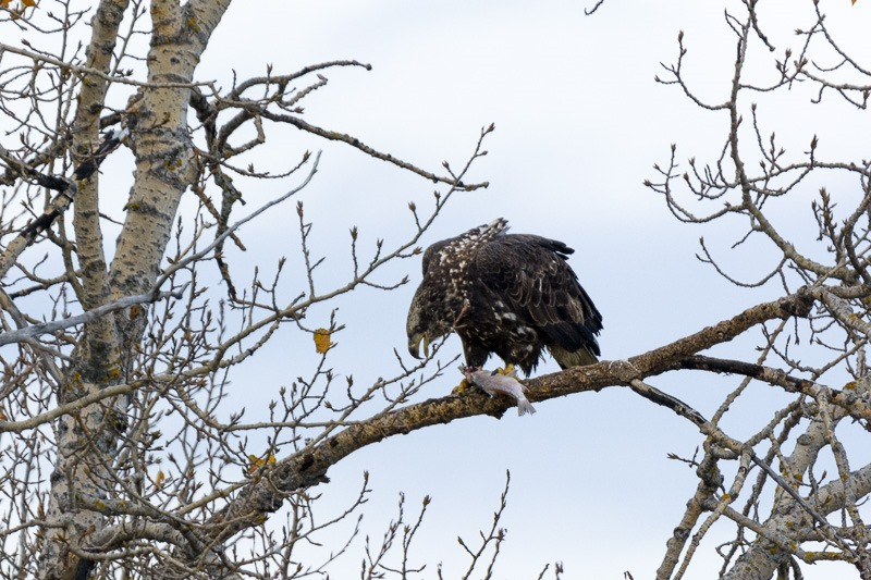 Juvenile Bald Eagle with meal