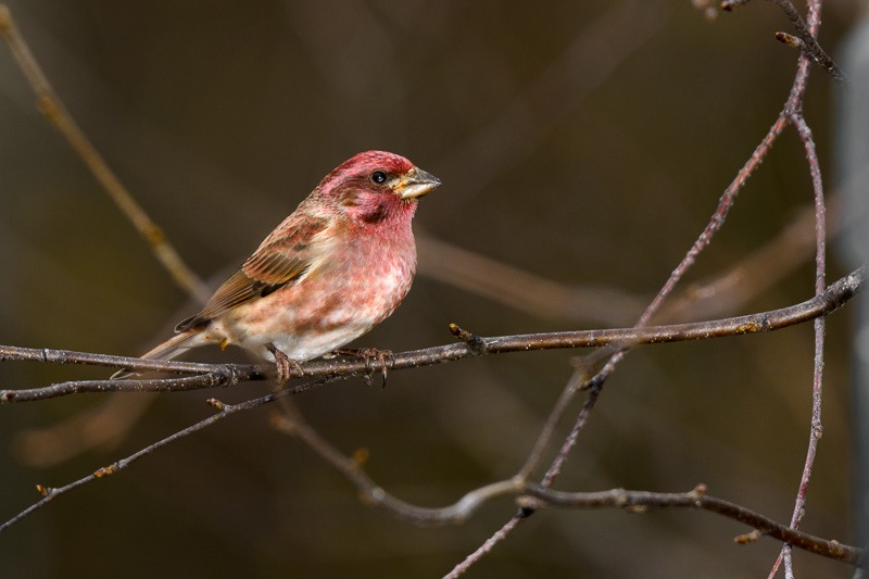 Purple Finch, male