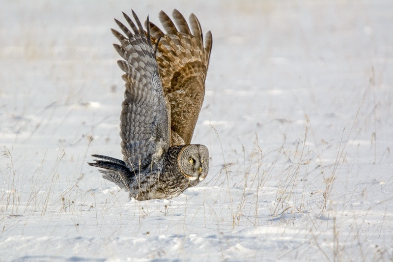 Heavy takeoff after a successful hunt and meal... Great Grey Owl, Strix Nebulosa, Manitoba, Canada