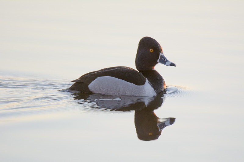 Ring-necked Duck near sunrise. Manitoba, Canada