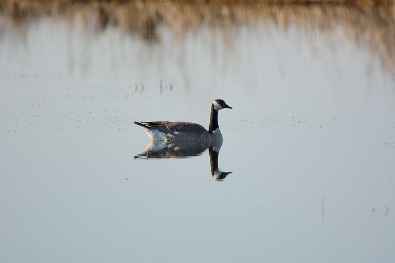 Lone Canada Goose