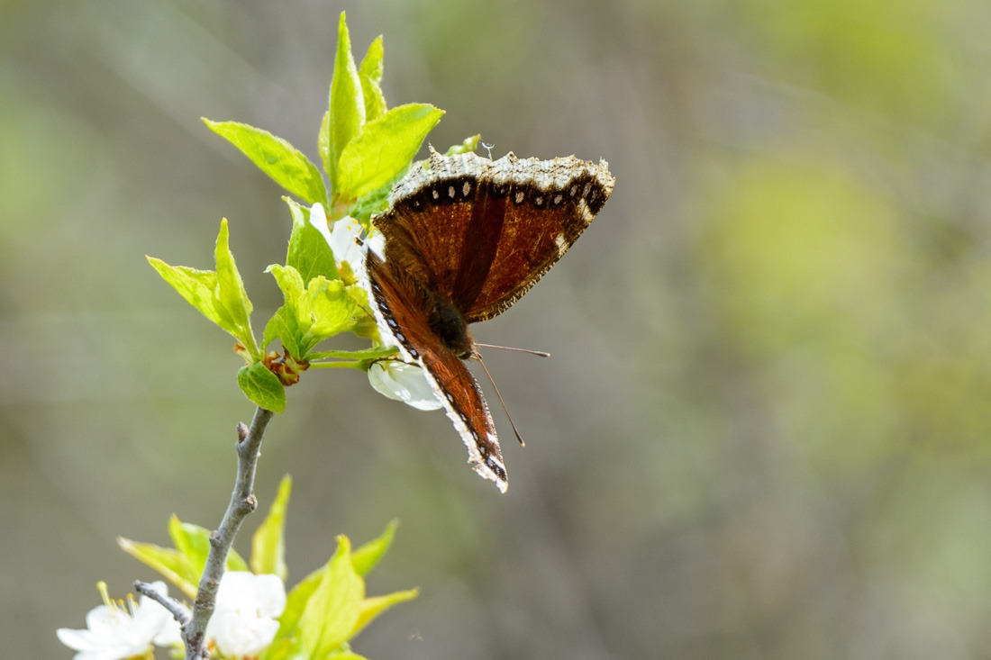Mourning Cloak, an early butterfly in the season