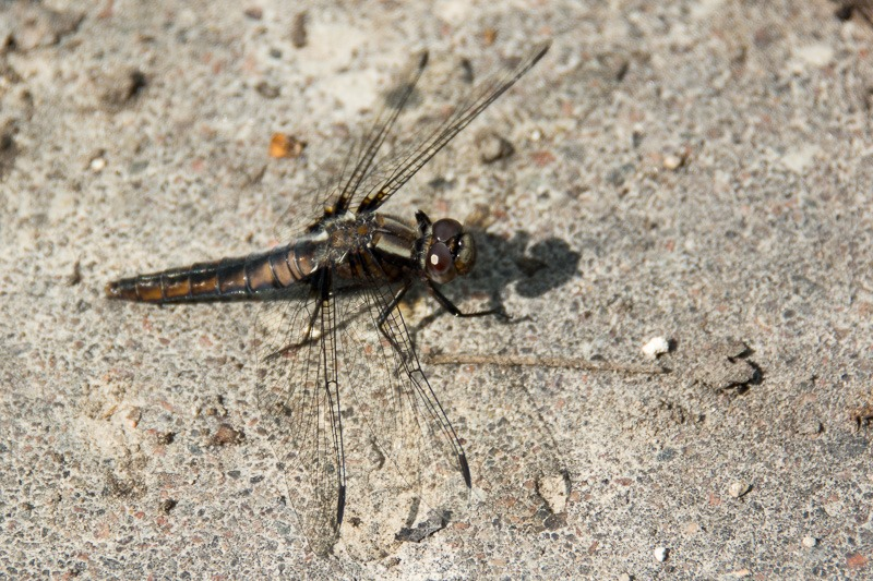 Female Chalk-fronted Corporal