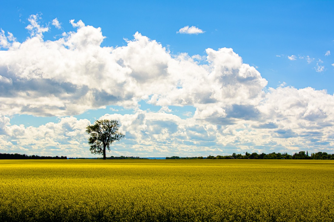 Canola field near Roland, MB
