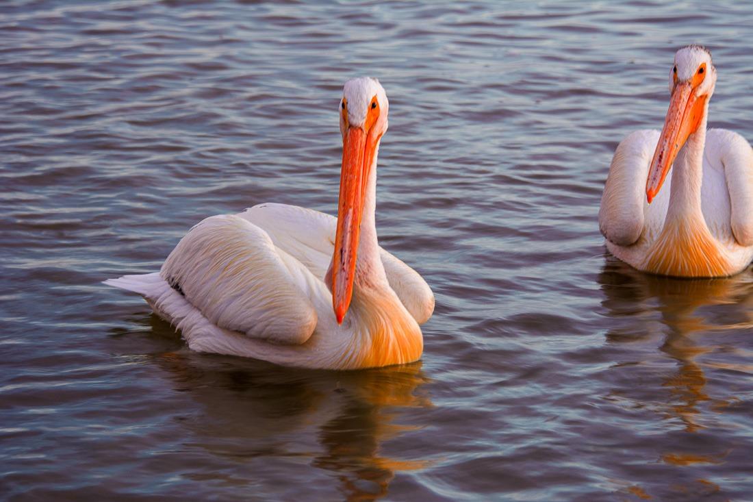 Pelicans begging for food