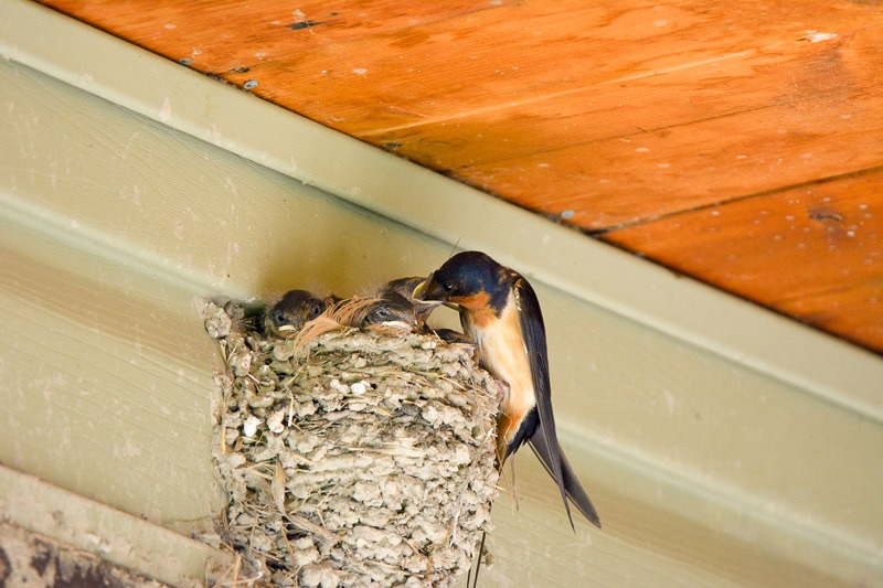 Feeding the hungry Barn Swallows