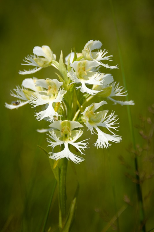 Western Prairie fringed-orchid (Platanthera praeclara)
