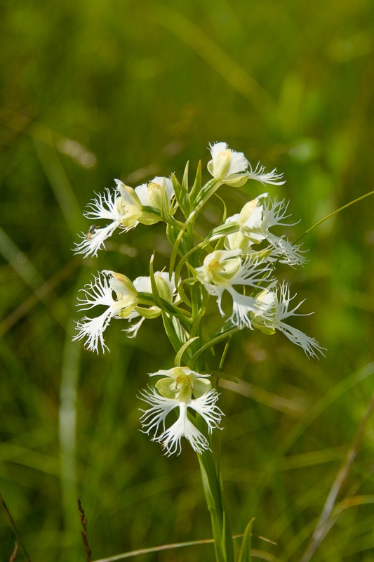 Endangered Western Fringed Prairie Orchid