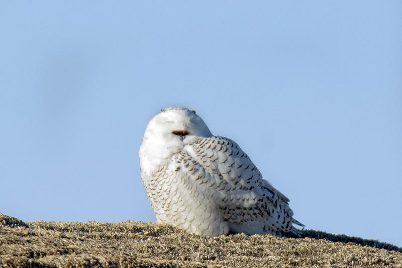 Un-stressed Snowy Owl