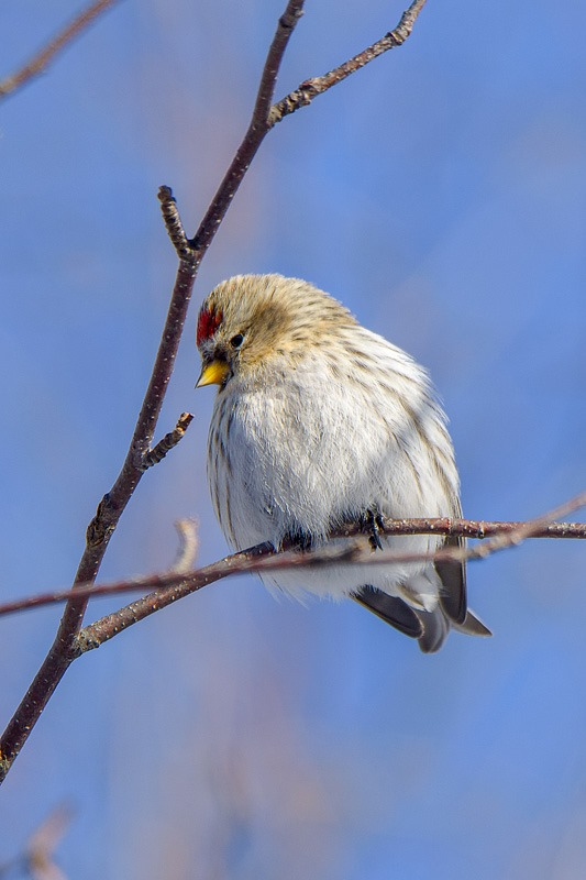 Common Redpoll, puffed up against the cold