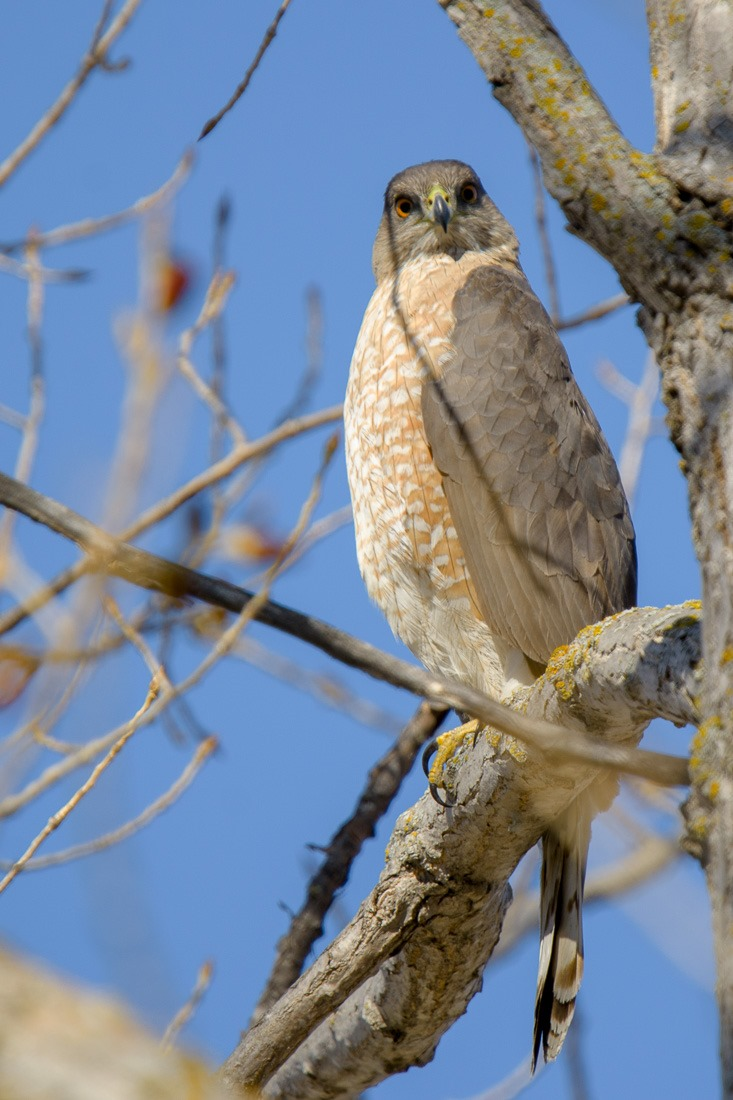 Cooper's Hawk, deciding I was not to become breakfast
