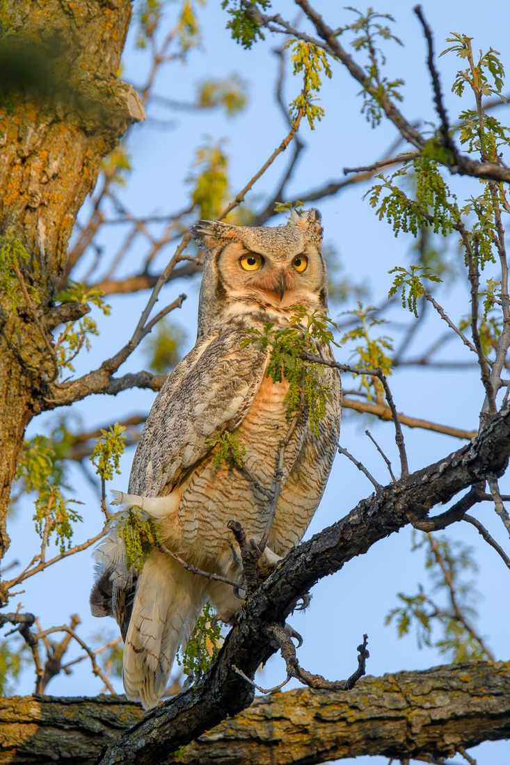 Great Horned Owl in the sunset