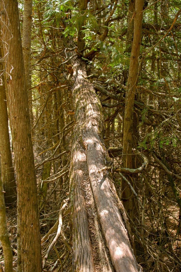 Fallen Cedar