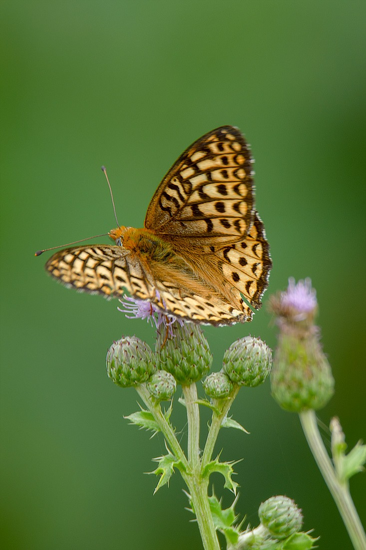 Fritillary, fragile and beautiful