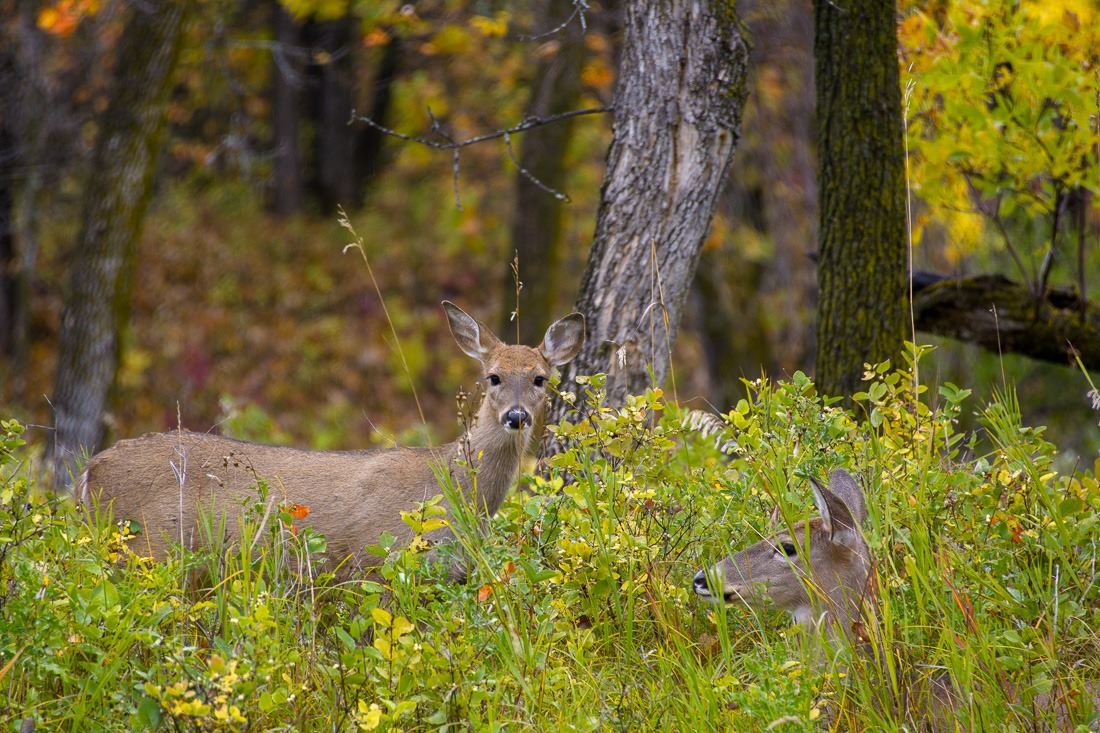 The residents of the woods, White Tailed Deer
