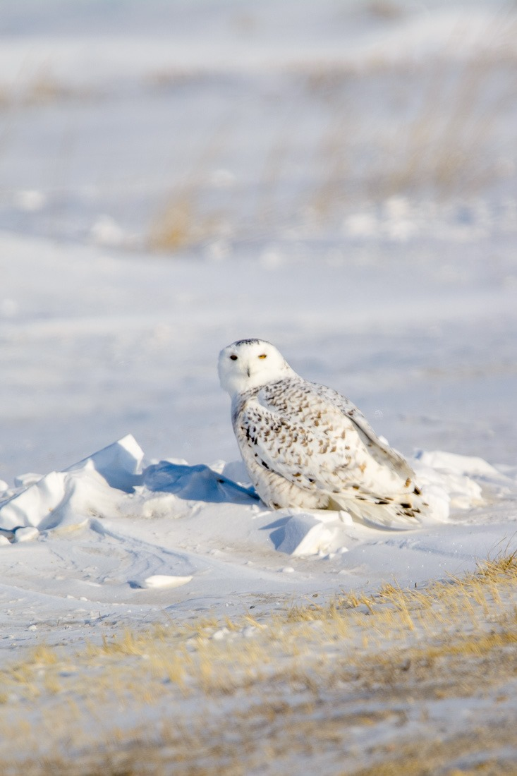 Snowy Owl, ready for takeoff