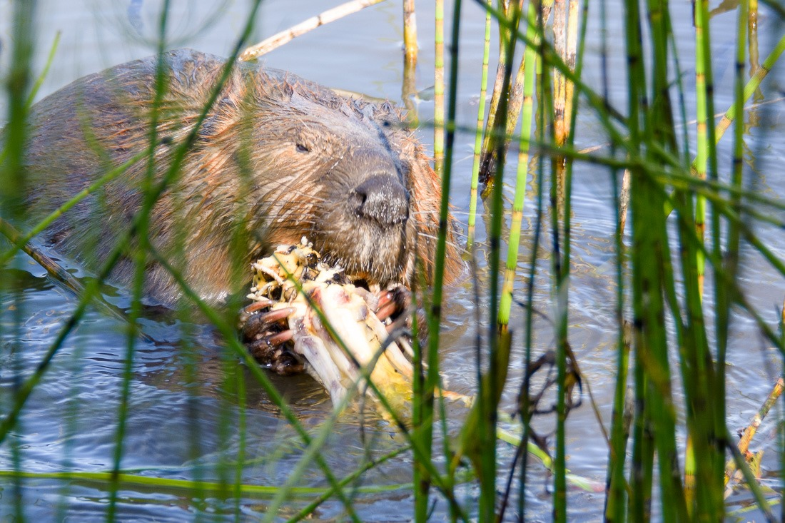 Either Ed or Willem Beaver, having a snack