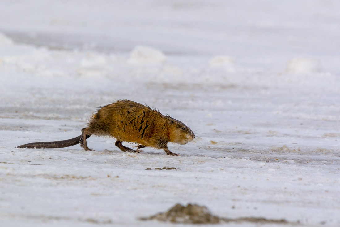 Muskrat outside of his home