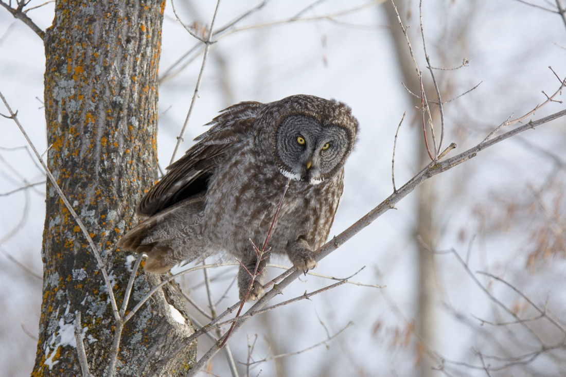 Great Grey Owl, walking up a branch