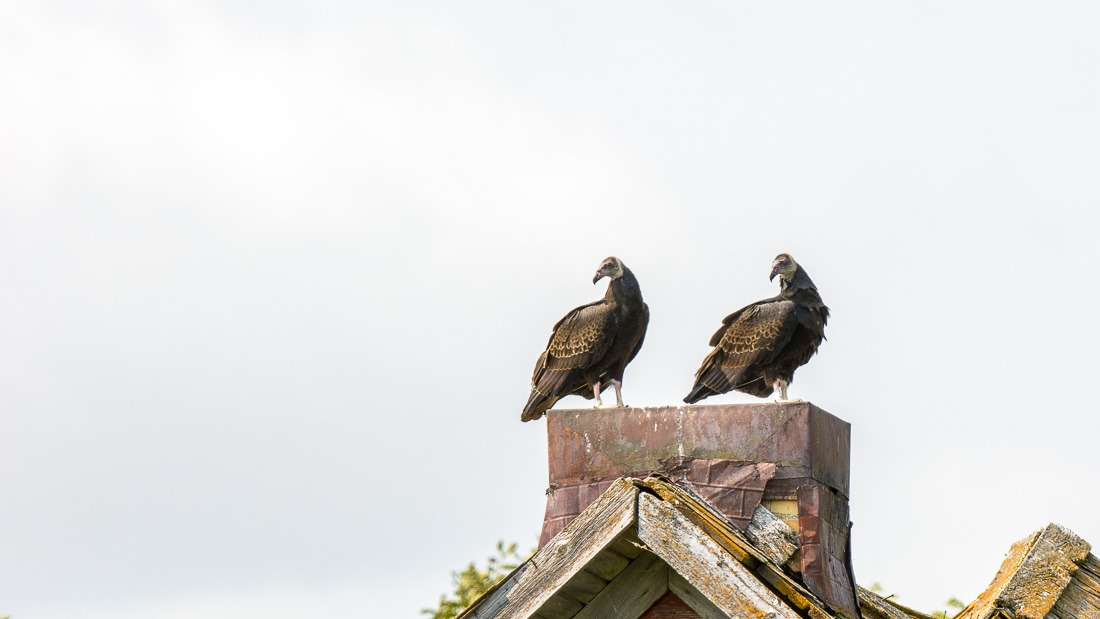 Juvenile Turkey Vultures