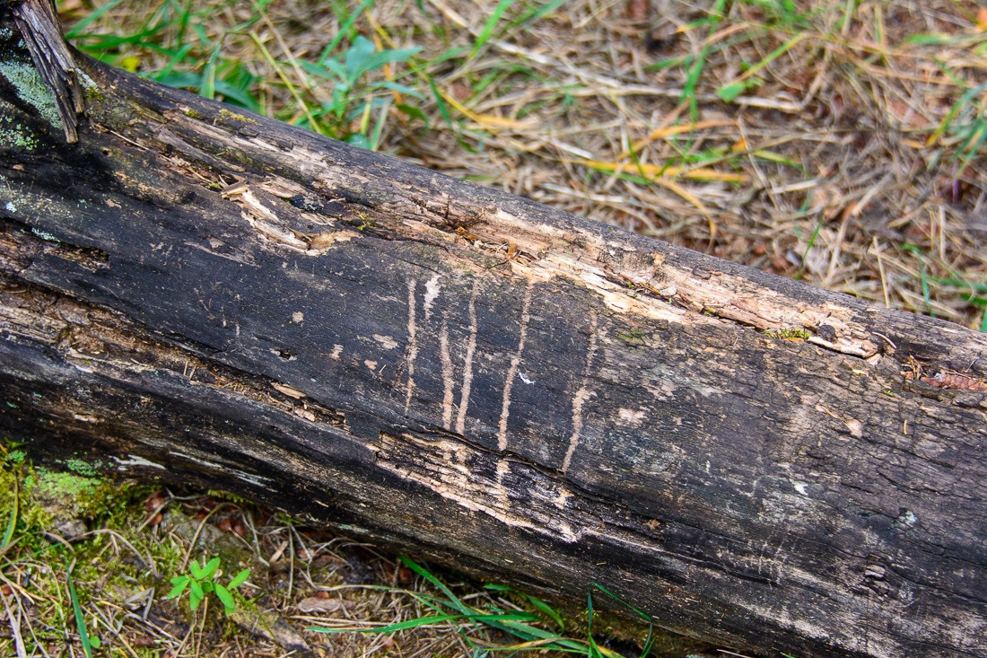 Traces of bear claws